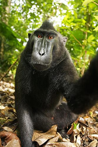 Female crested black macaque monkey selfie